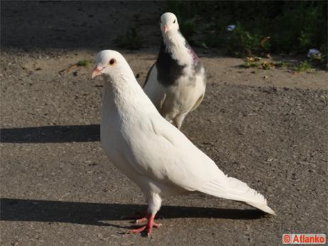 Белый голубь - символ мира! Летите, голуби...
