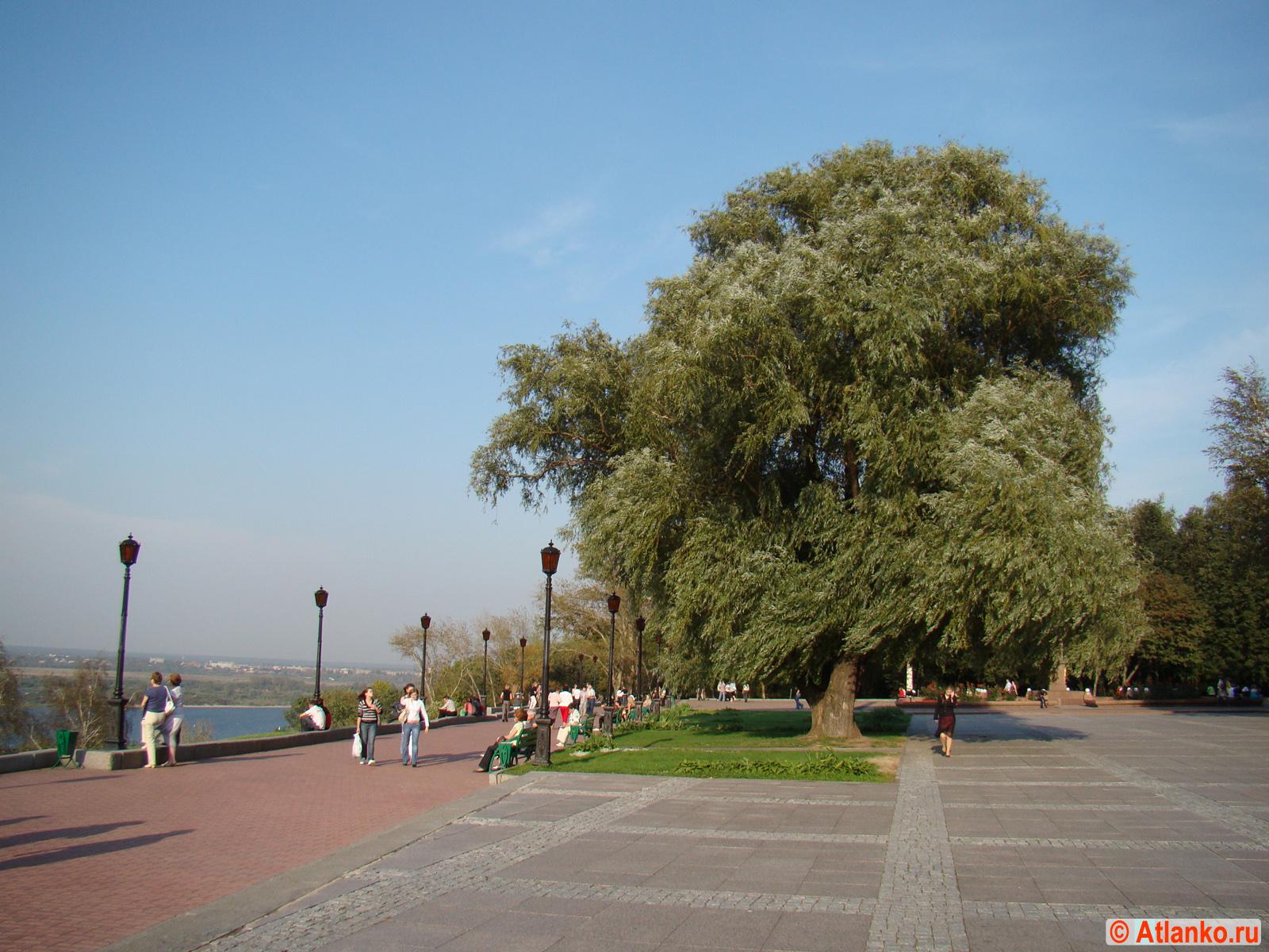 Ива белая (Salix alba L.) - красивое дерево в Нижегородском Кремле у мемориального комплекса Вечный огонь. Нижний Новгород. Фотография
