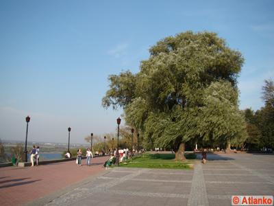 Ива белая - дерево в Нижегородском Кремле. Нижний Новгород. Фотография
