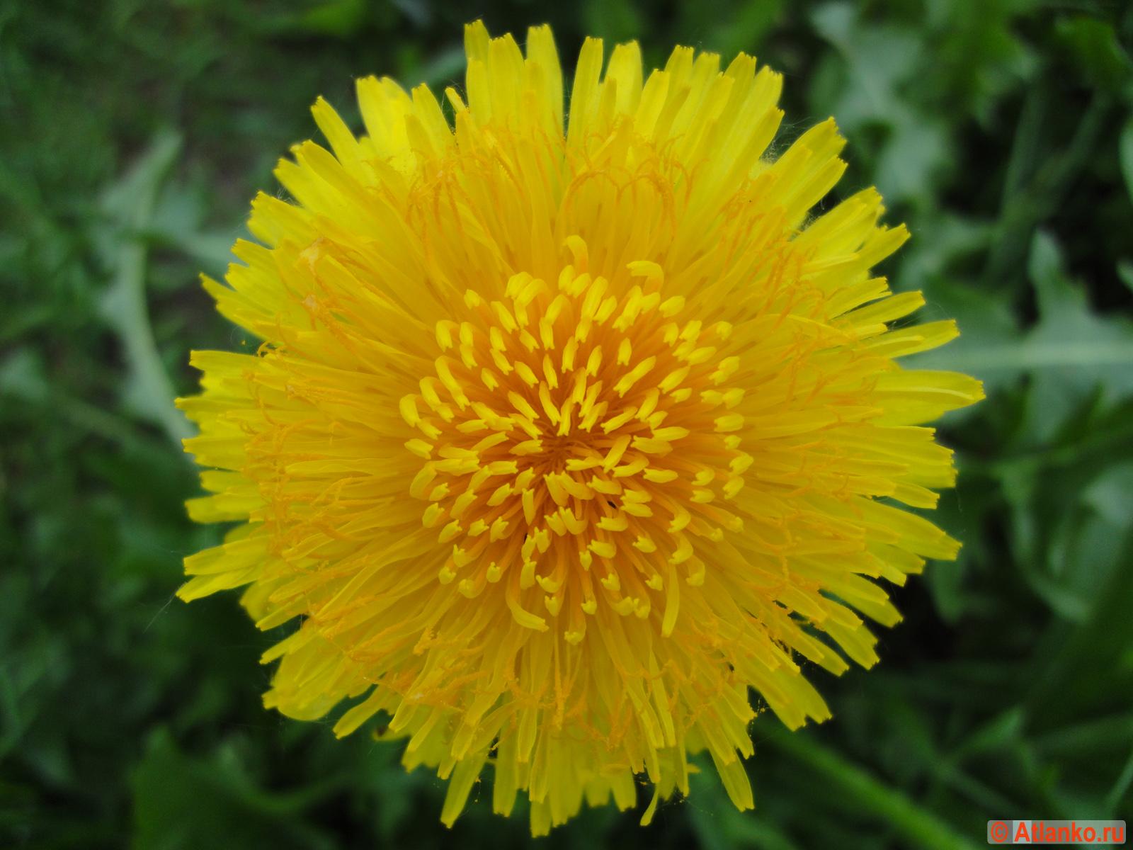Цветок одуванчика - яркое солнце. Фотография. На природе