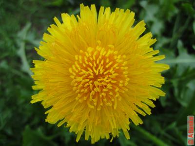 Цветок одуванчика - яркое солнце. Фотография