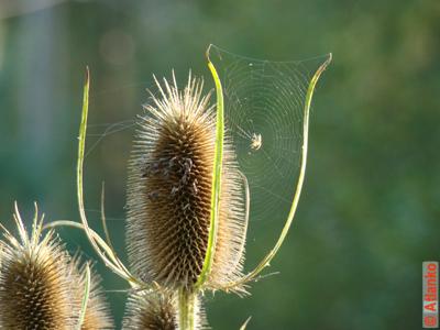 Паутина на колючке, паук на охоте. Фотография