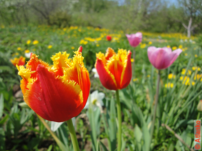 Красивые тюльпаны, весна в России. Фотография